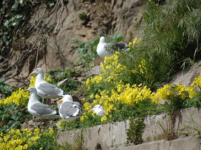 seagulls on Alcatrz walls