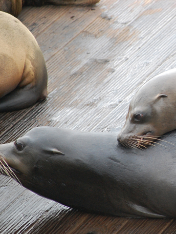 San Francisco, 2019 - Seals
